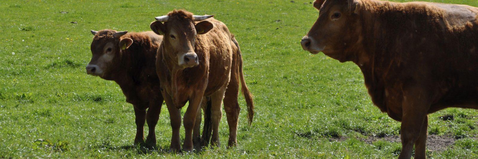 Stalljohann Kühe