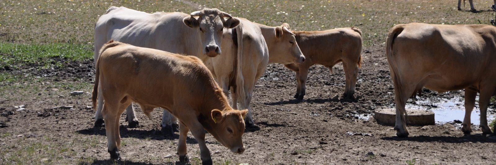 Landwirtschaft_Kühe